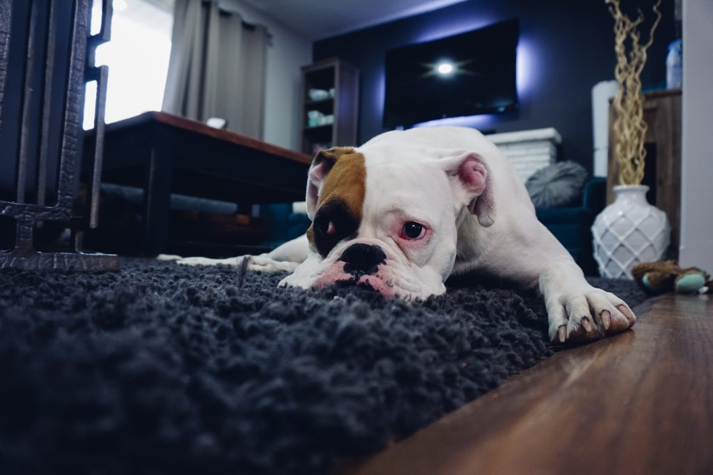 Cute bulldog lying on blue carpet, home staging